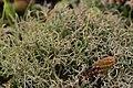 Cladonia sp. (24963479457).jpg