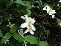 Clematis montana var. wilsonii (1).jpg