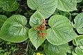 Clerodendrum speciosissimum 3051.jpg