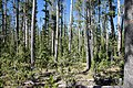 Climax lodgepole pine forest approximately 250+ years old. (092e6a08-1fd8-43ef-8a31-1597eadd6c46).jpg