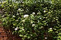 Climbing rose in the Walled Garden at Goodnestone Park Kent England.jpg