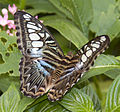 Clipper Butterfly (4867241660).jpg