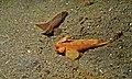 Cockatoo Waspfishes (Ablabys taenianotus) (6061737857).jpg
