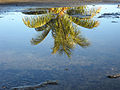 Coconut tree reflection (5026946334).jpg