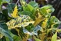 Codiaeum variegatum General Padgett 1zz.jpg