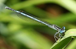 Coenagrion hastulatum.jpg