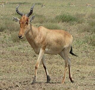 Hartebeest grassland antelope
