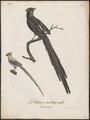 Colius capensis - 1796-1808 - Print - Iconographia Zoologica - Special Collections University of Amsterdam - UBA01 IZ19300003.tif