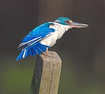 Collared Kingfisher.jpg