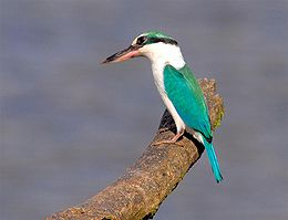 Collared Kingfisher (Todiramphus chloris) -Nee Soon Forest.jpg