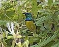Collared Sunbird (Anthodiaeta collaris) (22548646966).jpg