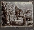 Collectie NMvWereldculturen, RV-A102-1-178, 'Het bakken van Cassavekoeken'. Foto- G.M. Versteeg, 1903-1904.jpg