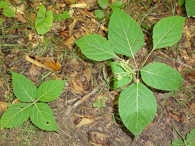 Collinsonia canadensis SCA-04218.jpg