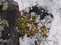 Colobanthus-quitensis-parnikoza-2014-1.jpg