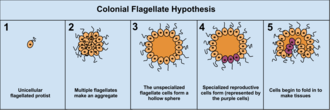 Multicellular organism - Image: Colonial Flagellate Hypothesis