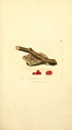 Coloured Figures of English Fungi or Mushrooms - t. 256.png