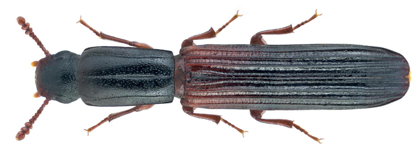 Colydium filiforme Fabricius, 1792 (21944155739).png