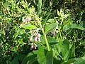 Comfrey (Symphytum officinalis), Bishopstone - geograph.org.uk - 933980.jpg