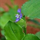 Commelina forsskalaei (Kanpet) in Hyderabad, AP W IMG 0610.jpg