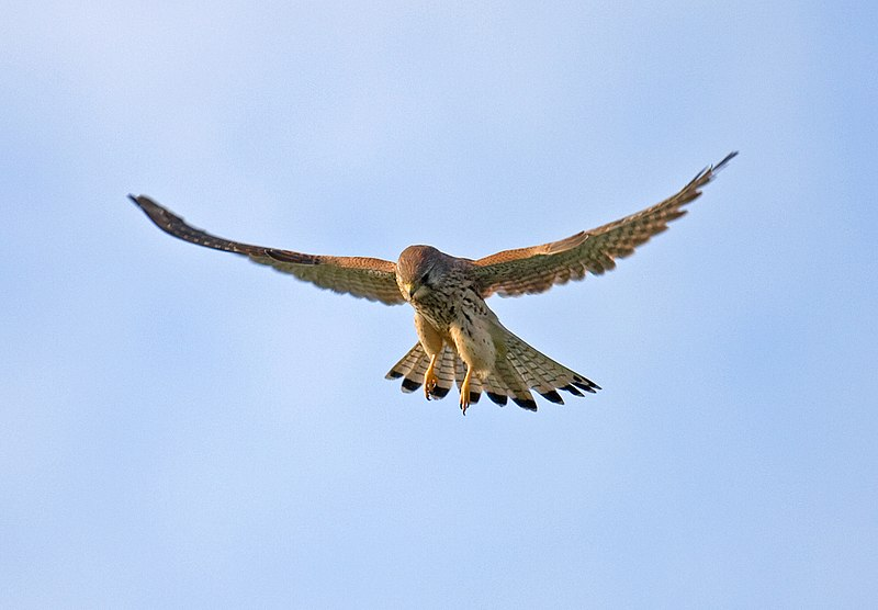 Tiedosto:Common-Kestrel-2.jpg