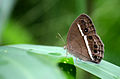 Common Bushbrown (Dingy Bushbrown) - Wet-season form.jpg