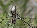 Common Cuckoo (Cuculus canorus) (36289507036).jpg