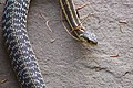 Common Eastern Garter Snake (7405013182).jpg