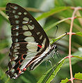 Common Jay (Graphium doson) in Hyderabad, AP W IMG 9179.jpg