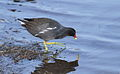 Common Moorhen, Gallinula chloropus at Rietvlei, just to complete the list (10073175185).jpg