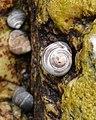 Common Periwinkle (Littorina littorea) - Trout River, Newfoundland 2019-08-17 (02).jpg