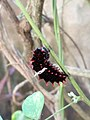 Common Rose Pre-Pupal Catterpillar.jpg