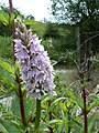 Common Spotted Orchid - geograph.org.uk - 870011.jpg