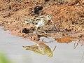 Common snipe-kannur- kattampally@- - 7.jpg