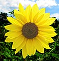 Common sunflower -- Helianthus annuus.jpg