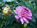 Concours International du Dahlia 2012 Parc Floral Paris 6.JPG