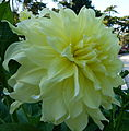 Concours international du dahlia 2012 - Parc Floral Paris 4.JPG