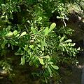 Condalia globosa 2.jpg