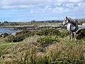 Connemara Pony, Inis Ni-Inishnee - geograph.org.uk - 1290370.jpg