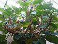 Conservatoire du bégonia 2015. Begonia curtii 01.JPG