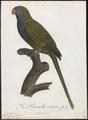 Conurus monachus - 1796-1808 - Print - Iconographia Zoologica - Special Collections University of Amsterdam - UBA01 IZ18500185.tif