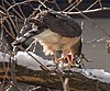 Cooper's hawk (52541).jpg