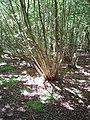 Coppiced hazel in Piddington Wood - geograph.org.uk - 182545.jpg