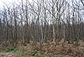 Coppiced trees, Clowes Wood - geograph.org.uk - 1211605.jpg
