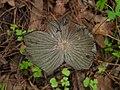 Coprinopsis lagopus (Fr.) Redhead, Vilgalys & Moncalvo 393843.jpg
