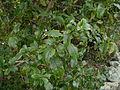Coprosma tenuifolia 11.JPG