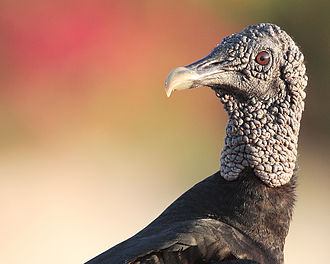 New World vulture - The featherless head of the American black vulture, Coragyps atratus brasiliensis, reduces bacterial growth from eating carrion.