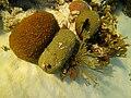 Corals - Montestrea cavernosa, Colpophyllia natans, Plexaura homomalla and Millepora alcicornis - Bay of Pigs - Cuba.jpg