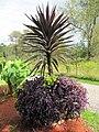 Cordyline and Setcresea planter (6163966945).jpg