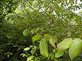 Cornus amomum immature fruit 01.JPG