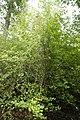 Cornus mas Elegantissima 2zz.jpg